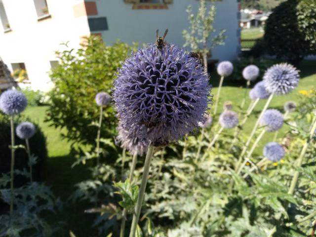 photo of purple flower looking like a ball
