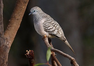 320px-Peaceful_dove_kobble08