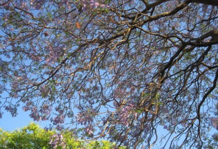 Beneath a Jacaranda Tree
