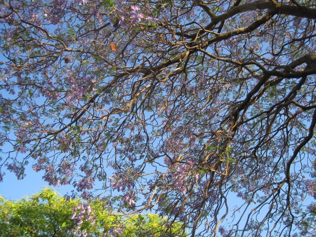 jacaranda-tree-in-bloom