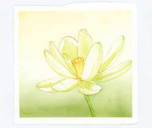 Waterlily illustration in watercolor and ink