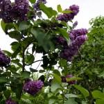 Sirop, colorant natural din maci, liliac sau soc