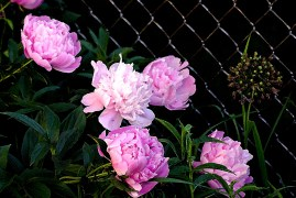 PinkFlowerspeoniesWatercolor