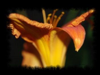 liliesofieldlilyblack1