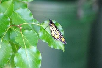 Butterflies2014AugMonarchButterfly 003
