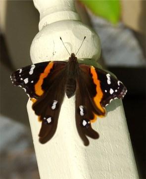 ButterfliesButterflyMorph