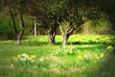 Spring2016DaffodilFieldLghtOilPnt