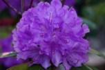 purplepurpleazaleas