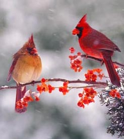 female-and-male-cardinals-together1