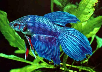 blue-beta