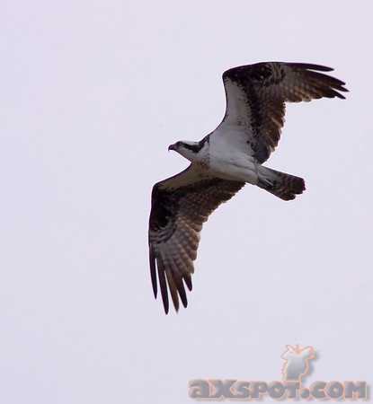 Osprey are one of my favorite birds