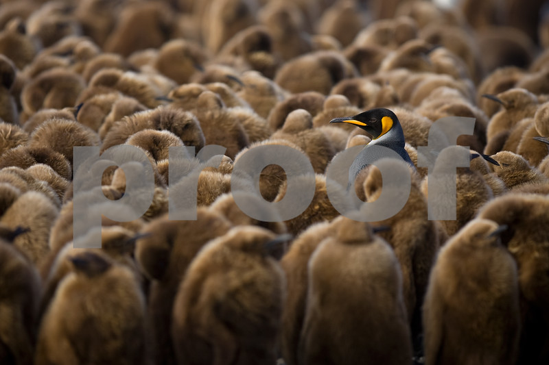 The obligatory adult King amongst the chicks image. King Penguin chicks were named Oakum Boys by the early whalers and sealers because they looked like the young boys who filled cracks on ships with tar and horsehair. At the end of the day these young boys were covered in fur.