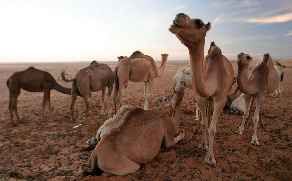 adrar-mort-subite-4-chameaux