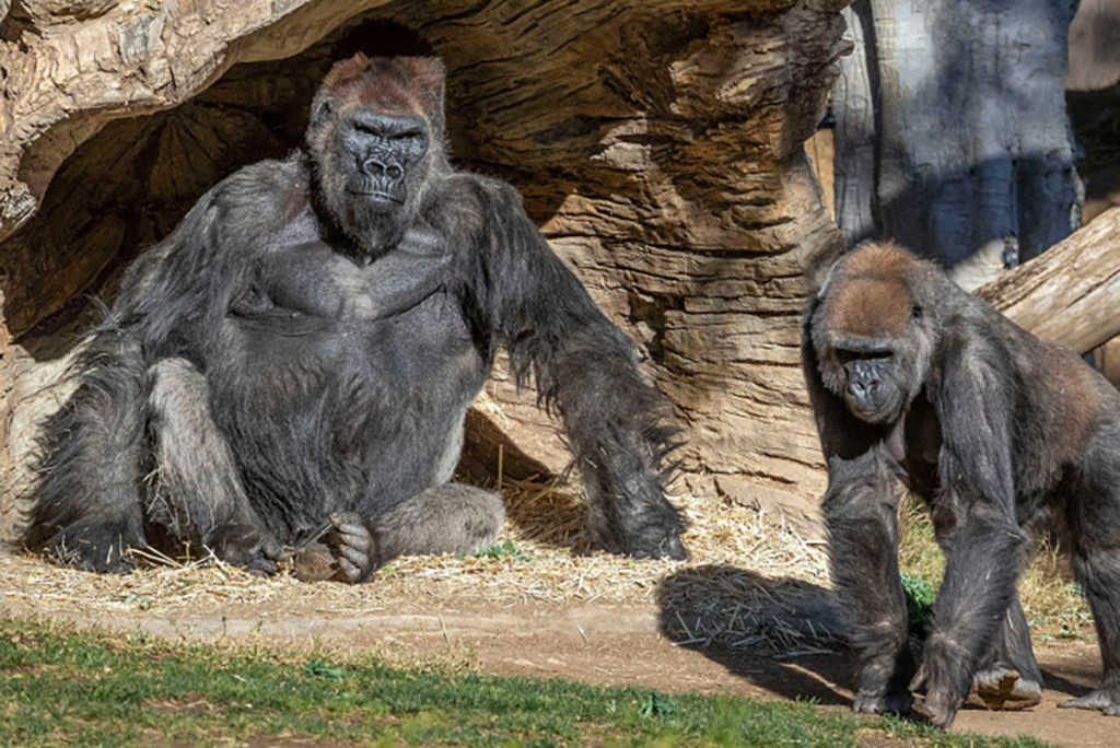 californie-des-gorilles-testes-positifs-au-covid-19