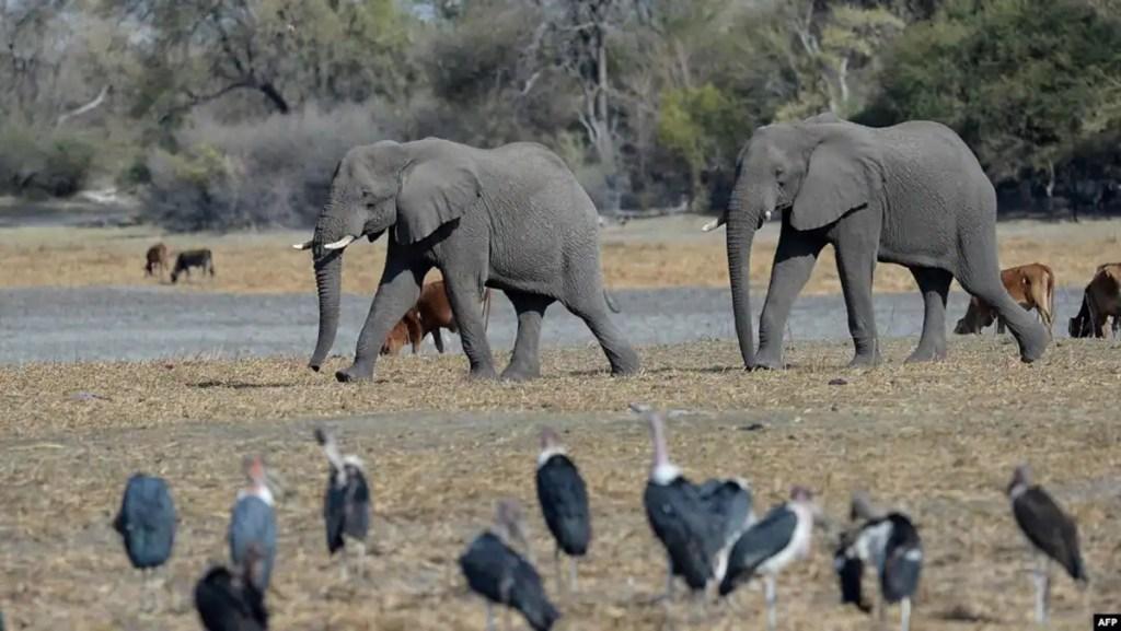 Botswana, ouverture de la saison de la chasse à l'éléphant
