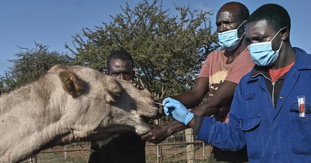 Coronavirus: au Kenya, on fait des tests sur les dromadaires