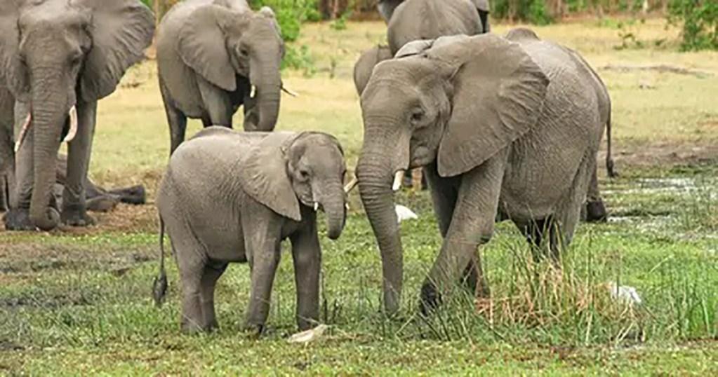 Un braconnier présumé meurt écrasé par un troupeau d'éléphants