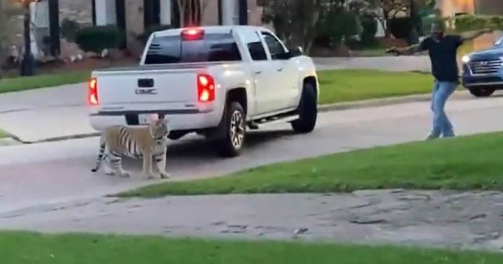 Texas : Le tigre arpentant les rues de Houston toujours recherché