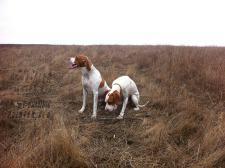 охота на фазана с пойнтером