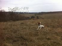 собака охоты фазана