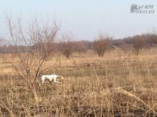 охотничья собака в стойке на куропатку