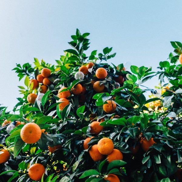 mandarin-tree-pointers-travel