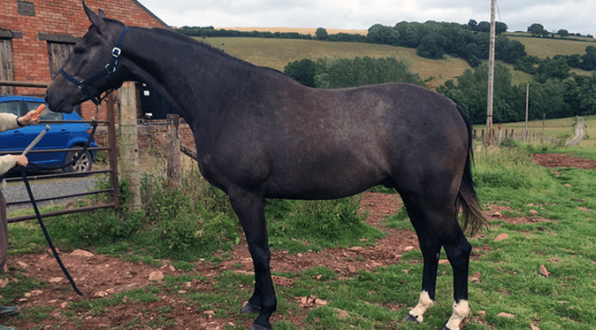 For Sale: Attractive Homebred thoroughbred iron grey gelding 3yrs 16.2hh.