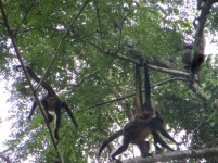 Monkeys, Yaxchilan
