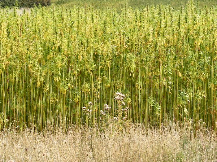 Hemp Crop - Not in Jamestown. Attribution: Adrian Cable Source: http://www.geograph.org.uk/photo/1470339