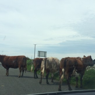 Cows! We have cows in the road!