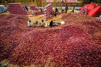 Red Gems (Apples) of Hunza...