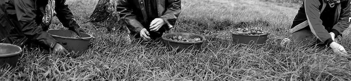 ramassage manuel des poires à poiré en noir et blanc