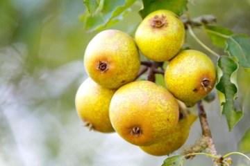 Plant de Blanc pears