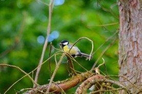 great tit in pine
