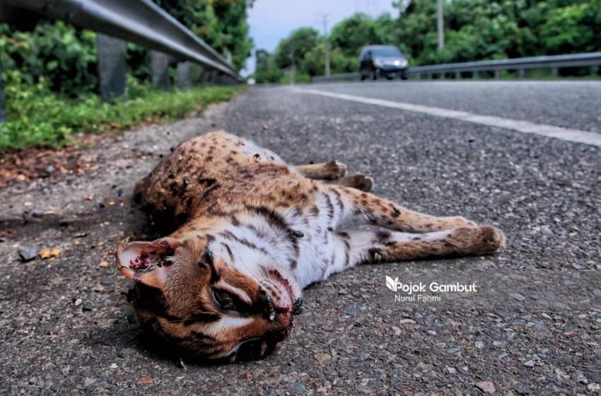 Kucing Hutan Mati Ditabrak Akibat Menghindari Karhutla