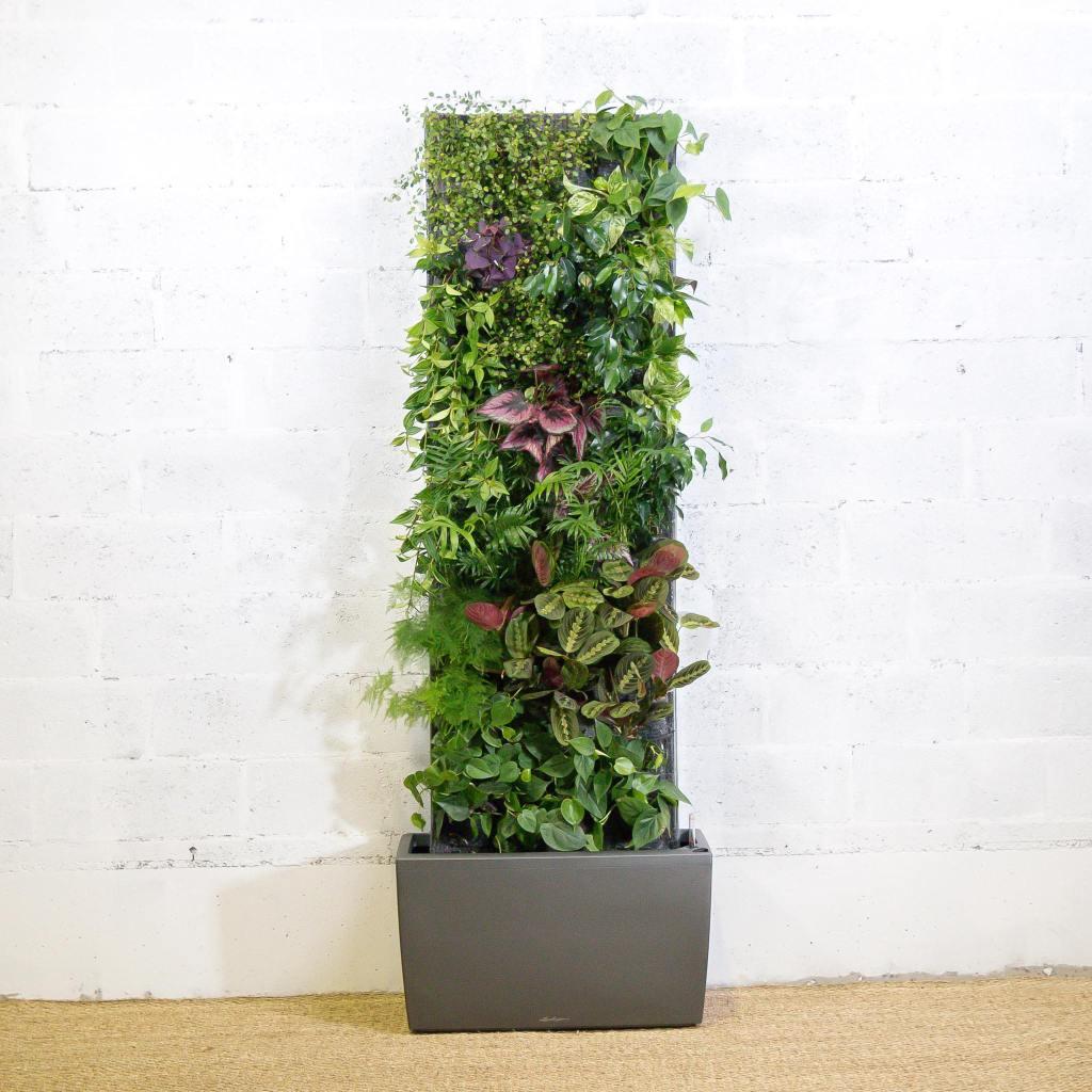 Mur végétal Maranta