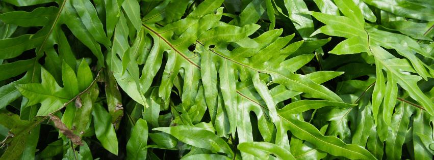 Plante Microsorum diversifolium