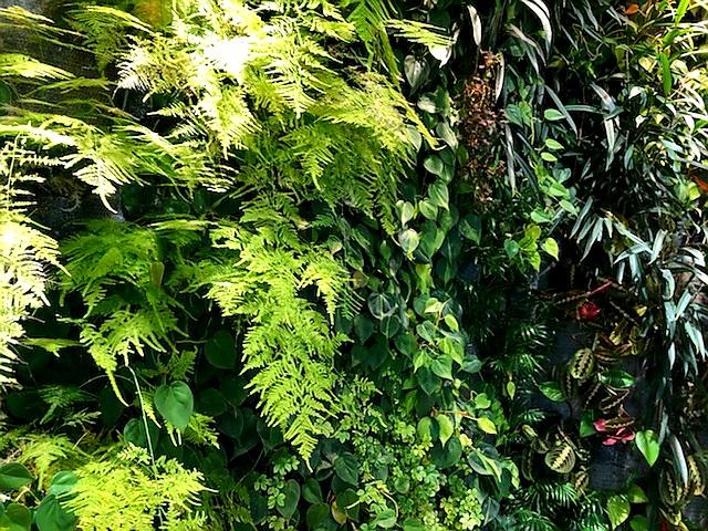 Asparagus plumosus installé sur un mur végétal