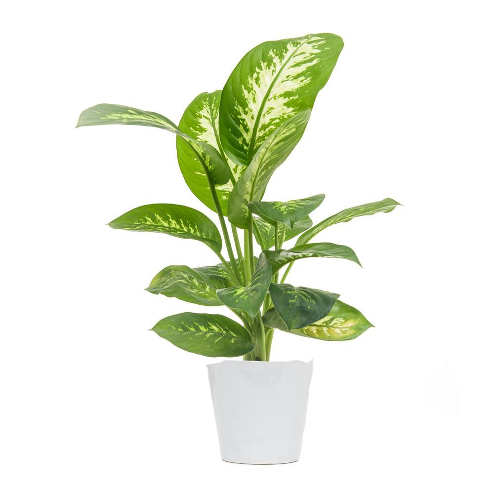 Le Dieffenbachia hybrid en pot