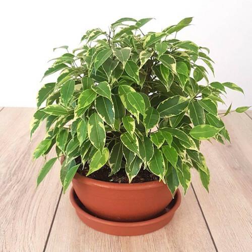 le feuillage buissonnant du ficus benjamina dans un pot