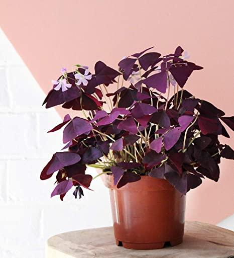 oxalis triangularis en pot avec décor