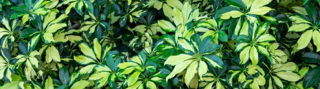 Feuillage du Schefflera arboricola formant un parasol
