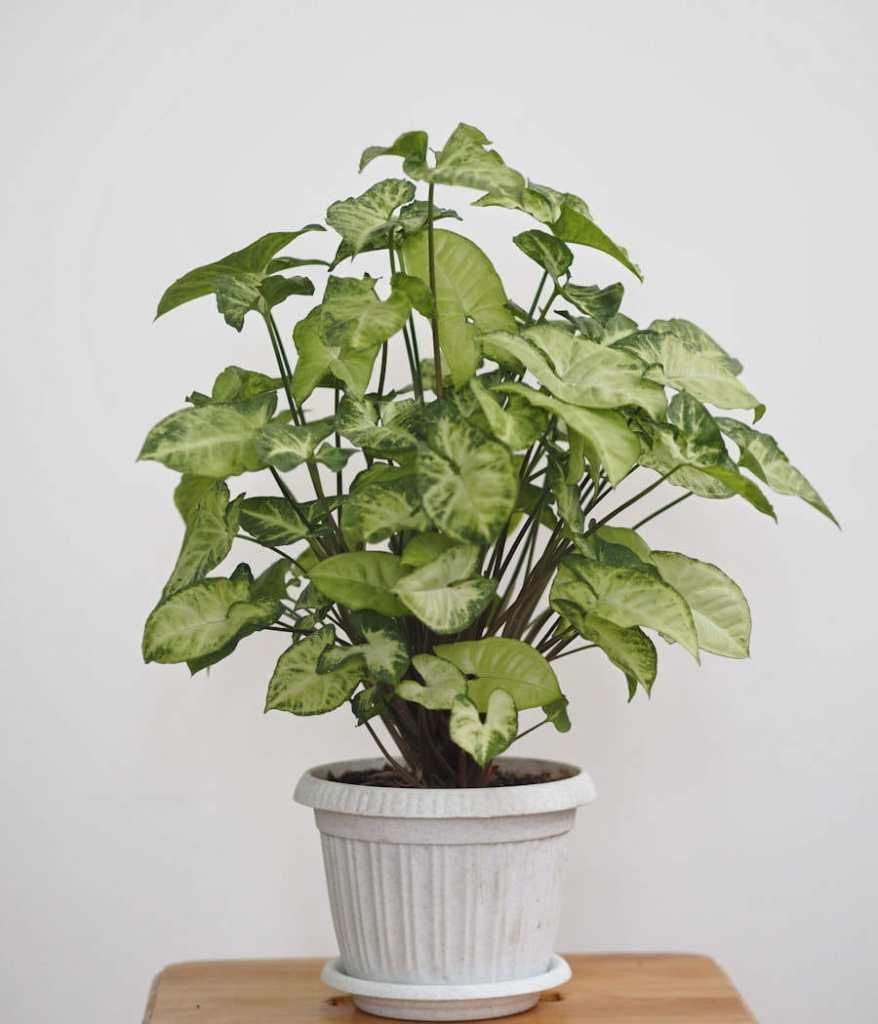 Le Syngonium en pot avec un décor en arrière plan