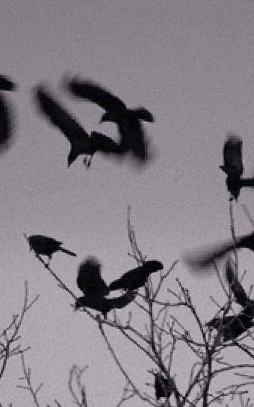 Black and white image of birds by Claudia Gorman