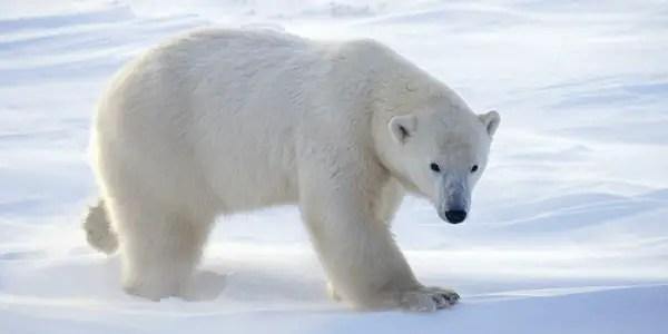Female Polar Bear   Size, Weight, Denning Behavior, Affection