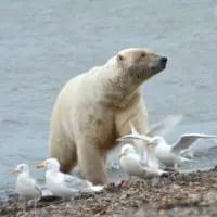 do polar bears eat birds
