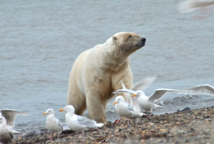 Do Polar Bears Eat Birds? – Polar Bear Secondary Prey