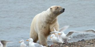 do polar bears eat birds