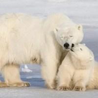 Are Polar Bears Endangered? | Why are Polar Bears Endangered?
