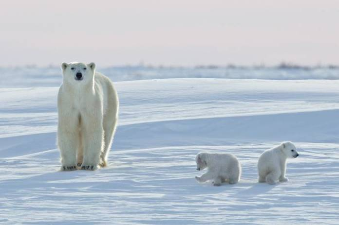 do polar bears live in antarctica?